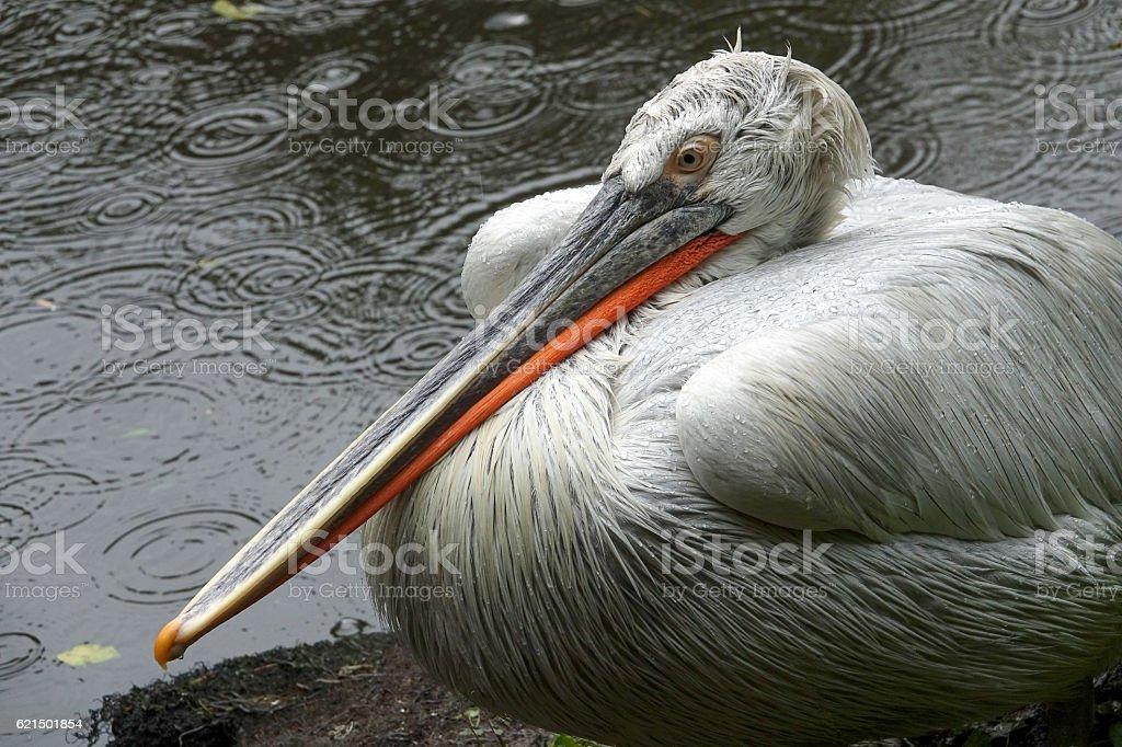 pelican7 Lizenzfreies stock-foto