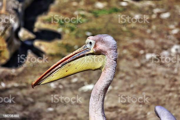 pelican,pelikan