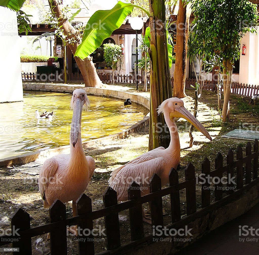 Pelicans 2, Egypt, Africa royalty-free stock photo