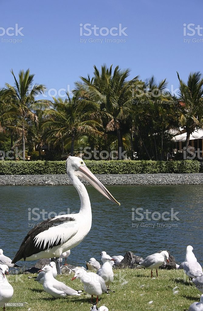 Pelicans 4 royalty-free stock photo
