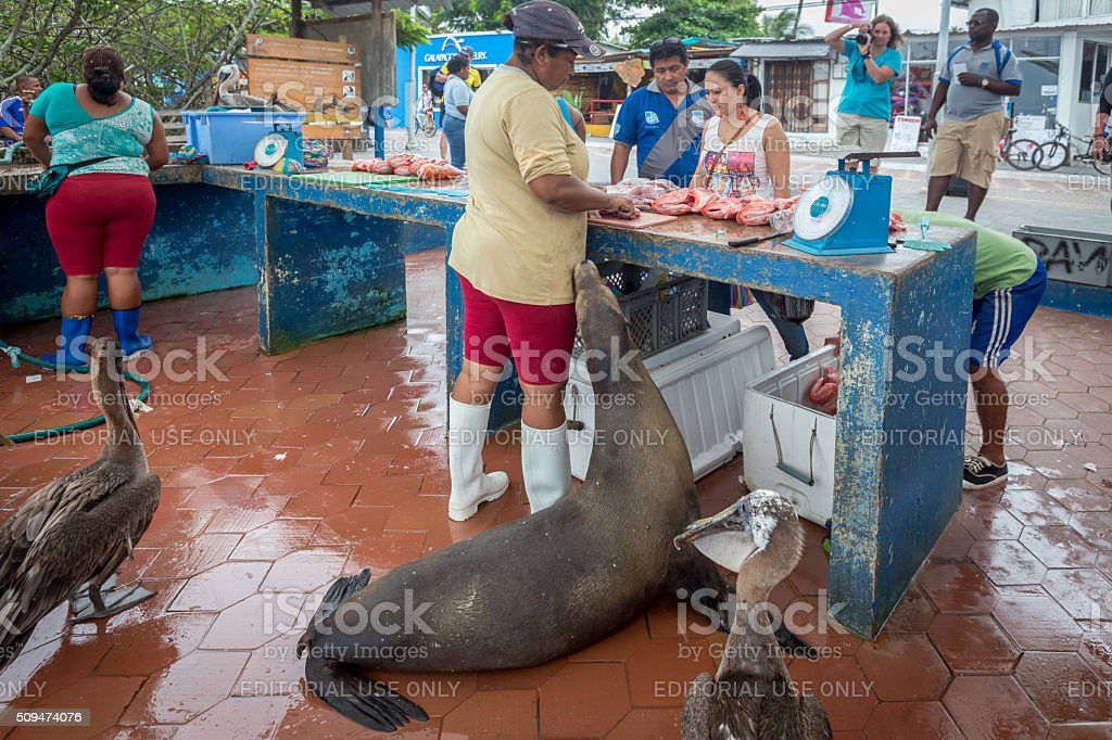 Pelicans and a Galapagos Sea Lion Beg for food stock photo