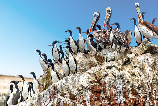 Pelicans and Cormorants Brown pelicans and guanay cormorants on a rock in the Ballestas Islands near Paracas, Peru pisco peru stock pictures, royalty-free photos & images