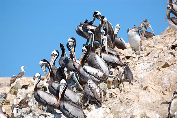 Pelicans and penguins  pisco peru stock pictures, royalty-free photos & images