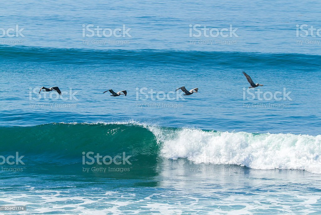 Pelicans and Wave stock photo