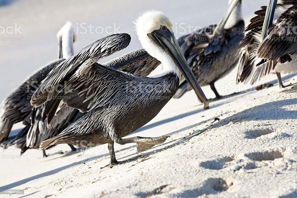 Pelicans están caminando por la playa foto de stock libre de derechos