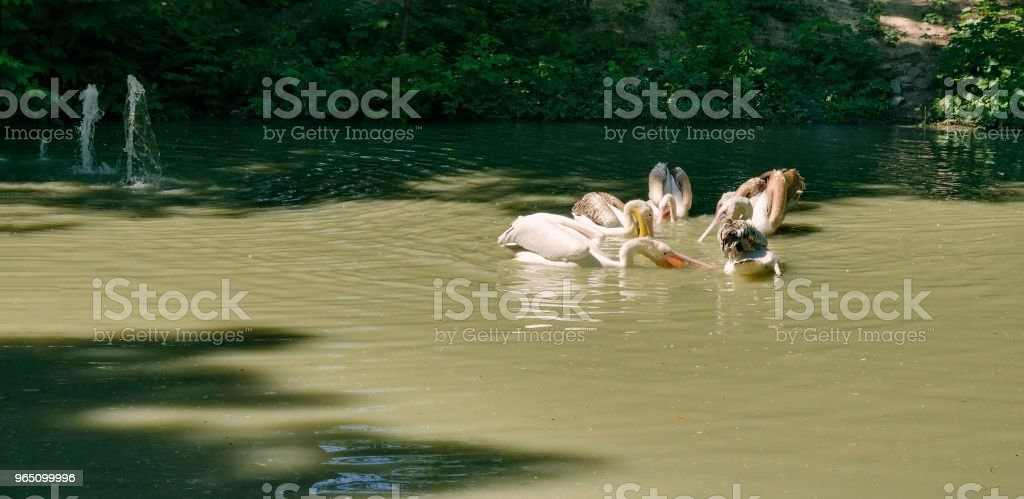 Pelicans are white on the shore of the pond royalty-free stock photo