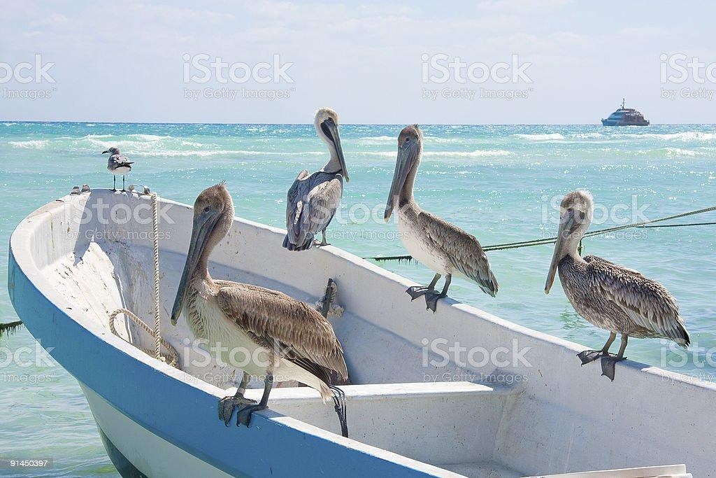Pelicans at Playa Del Carmen, Mexico royalty-free stock photo