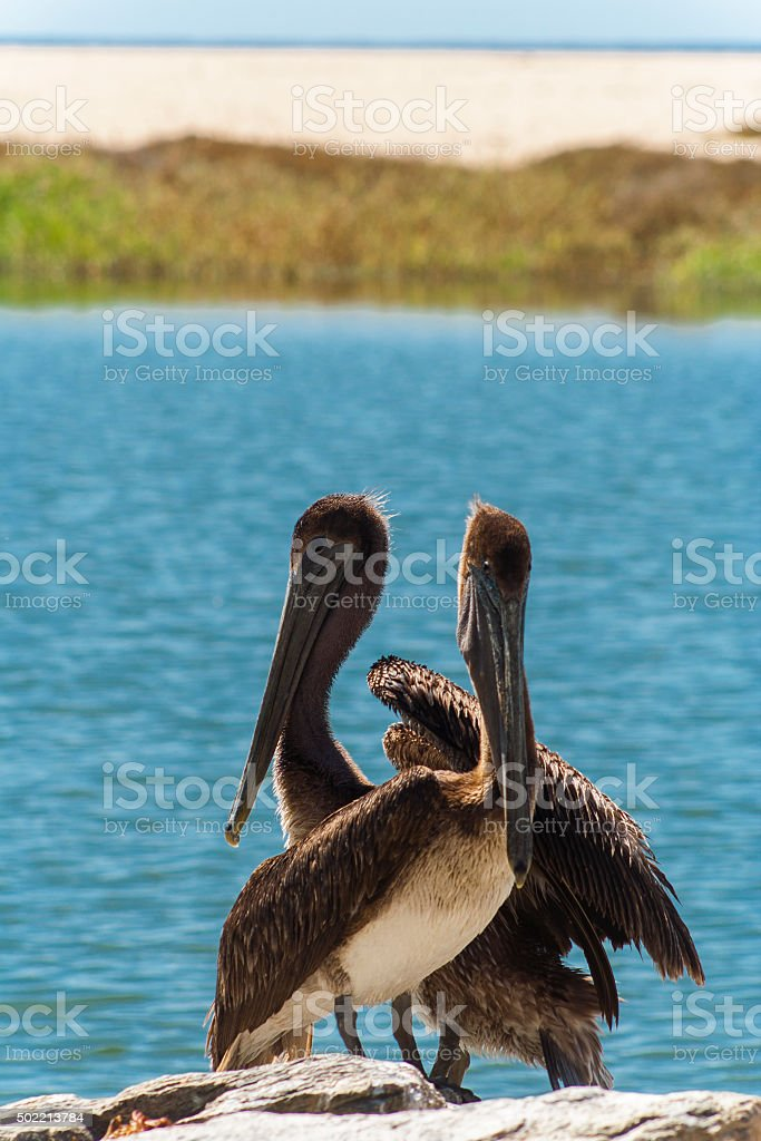 Pelicans, Baja California stock photo
