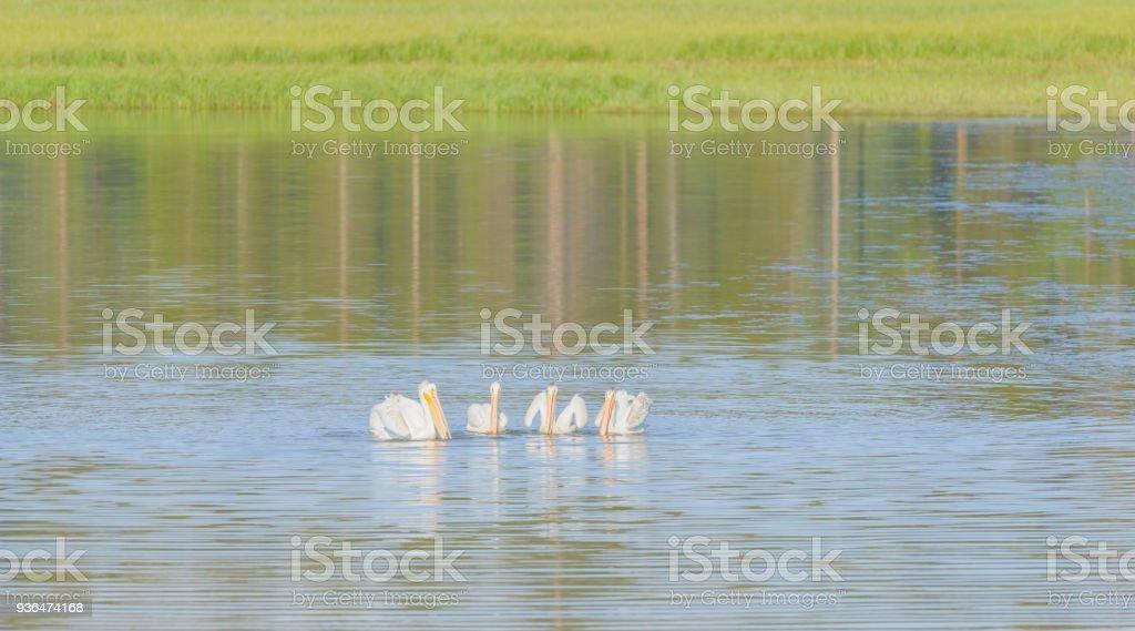 Pelicans bathing in Yellowstone lake, Wyoming, USA. stock photo