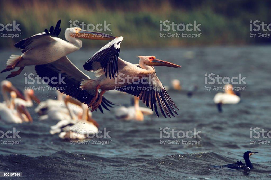 pelicans birds background - Foto stock royalty-free di Acqua