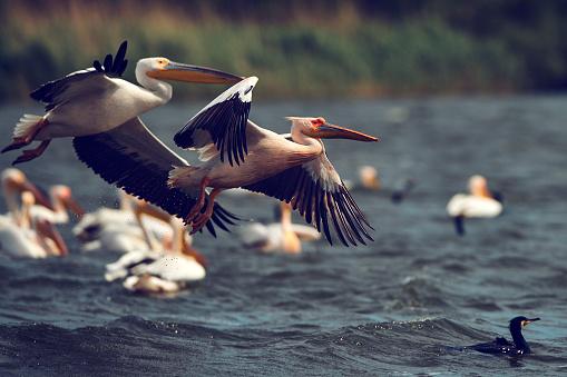 Pelicans Birds Background - Fotografie stock e altre immagini di Acqua