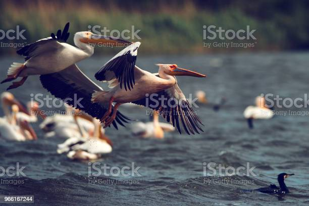 Pelicani Uccelli Sfondo - Fotografie stock e altre immagini di Fiume Danubio