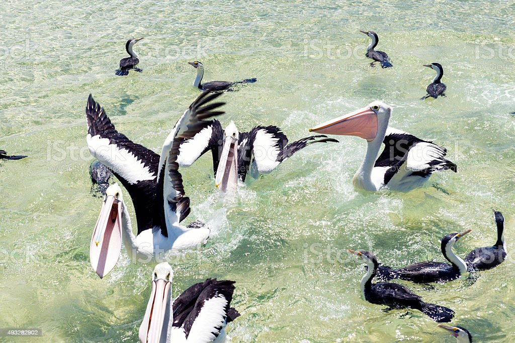 Pelicans feeding in the water stock photo
