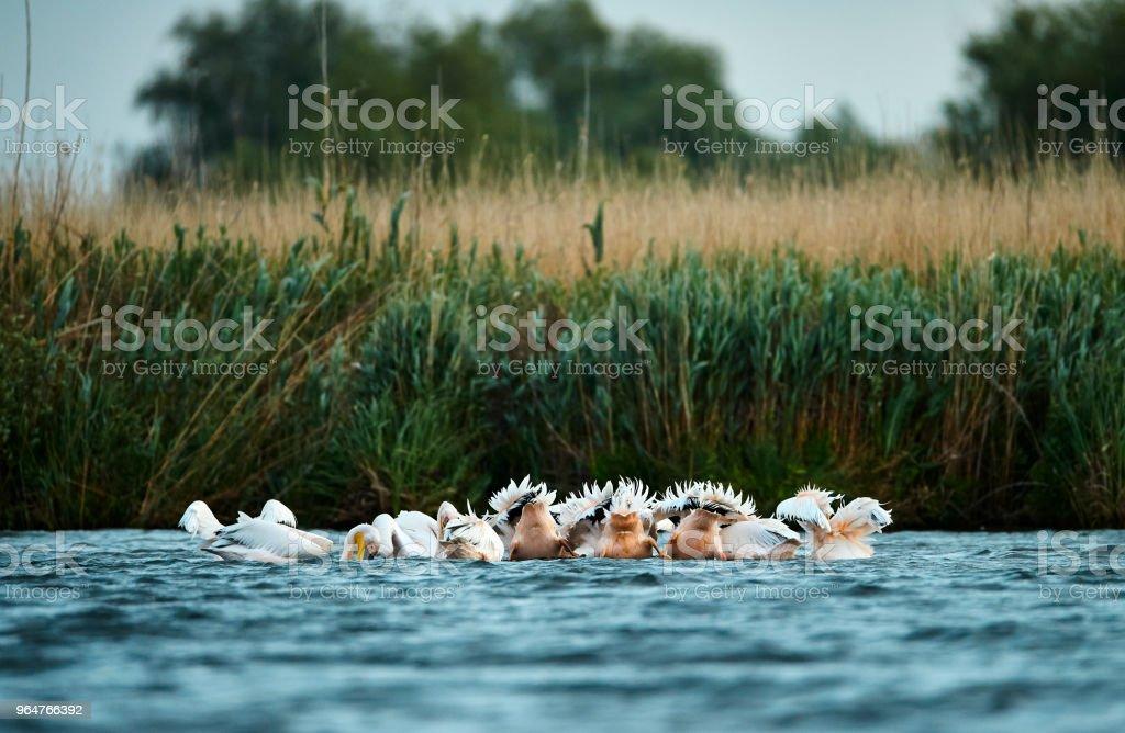 pelicans feeding royalty-free stock photo