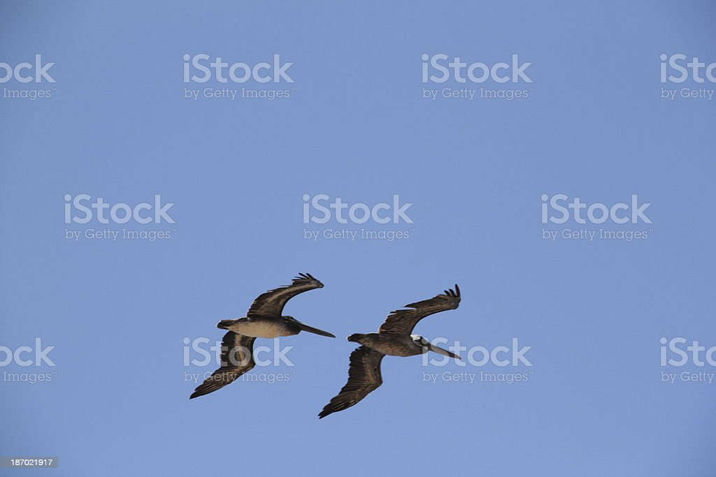 Pelicans Flight Sky royalty-free stock photo