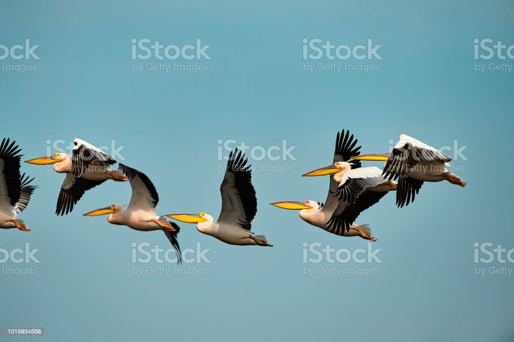 side view of flock of pelicans flying, sky in background.