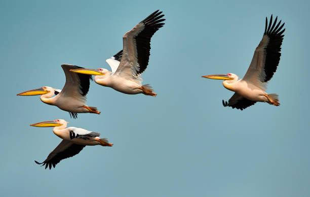 pelicans flying by the sky - пеликан стоковые фото и изображения