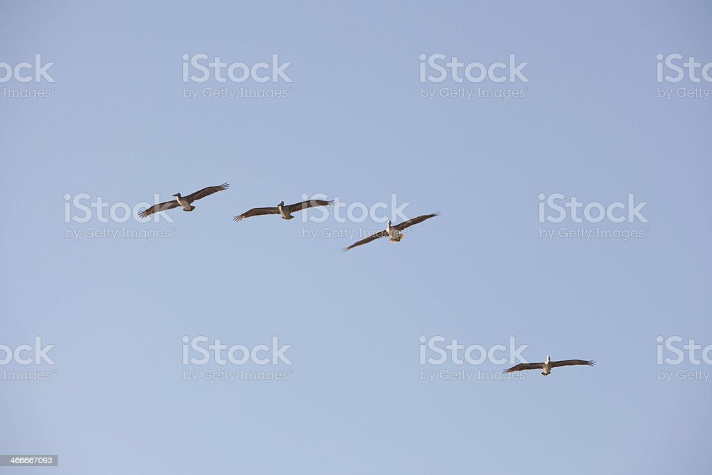 Pelicans flying in blue sky royalty-free stock photo