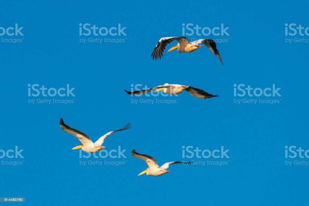 Pelicans flying in the Danube Delta stock photo