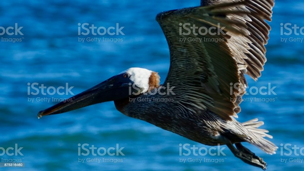 Pelicans, flying over water, close-up stock photo