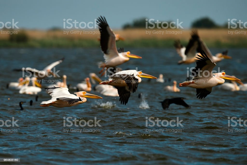pelicans flying royalty-free stock photo