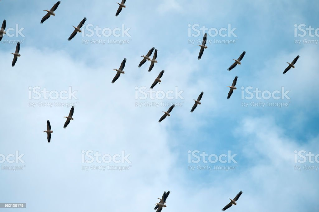 low angle view of pelicans flying above the sky in summer day.