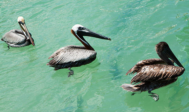 Pelicans hanging out stock photo
