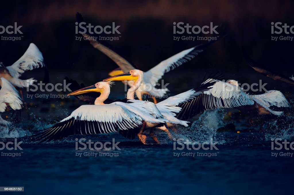 pelicans in Danube Delta royalty-free stock photo