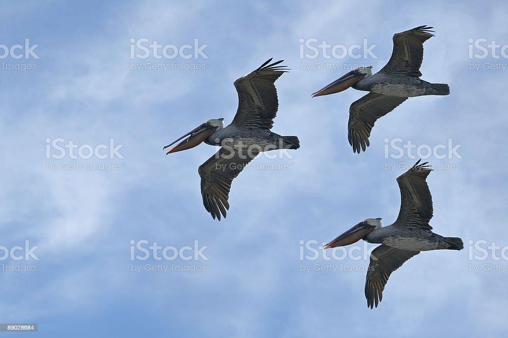 Pelikane im Flug Lizenzfreies stock-foto