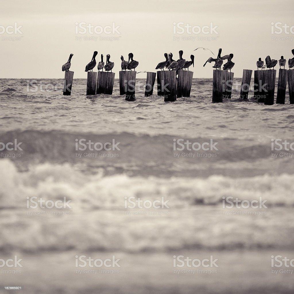 pelicans in florida stock photo