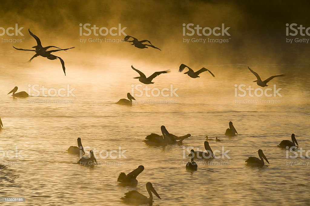 pelicans in mist stock photo