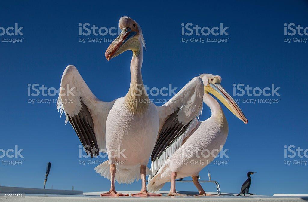 Pelicans in Namibia, catamaran stock photo