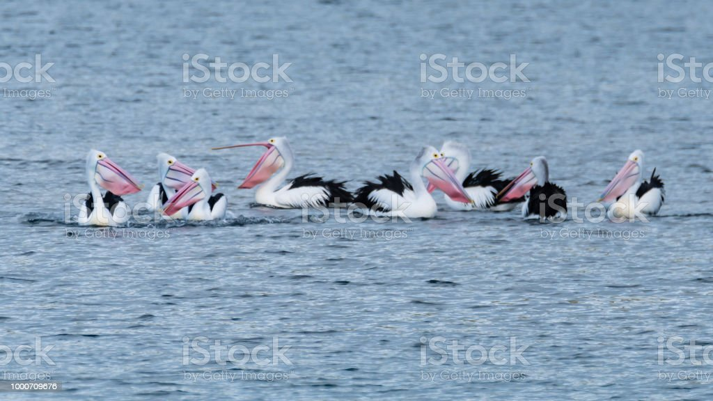 Pelicans in the Bay stock photo
