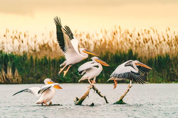 Pelicans in the Danube Delta, Romania flyring at sunrise stock photo