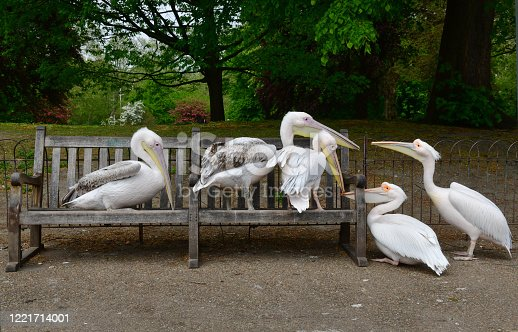 The lack of people in London during the COVID-19 pandemic has allowed the pelicans in St James's Park public park to appropriate the public spaces and park benches
