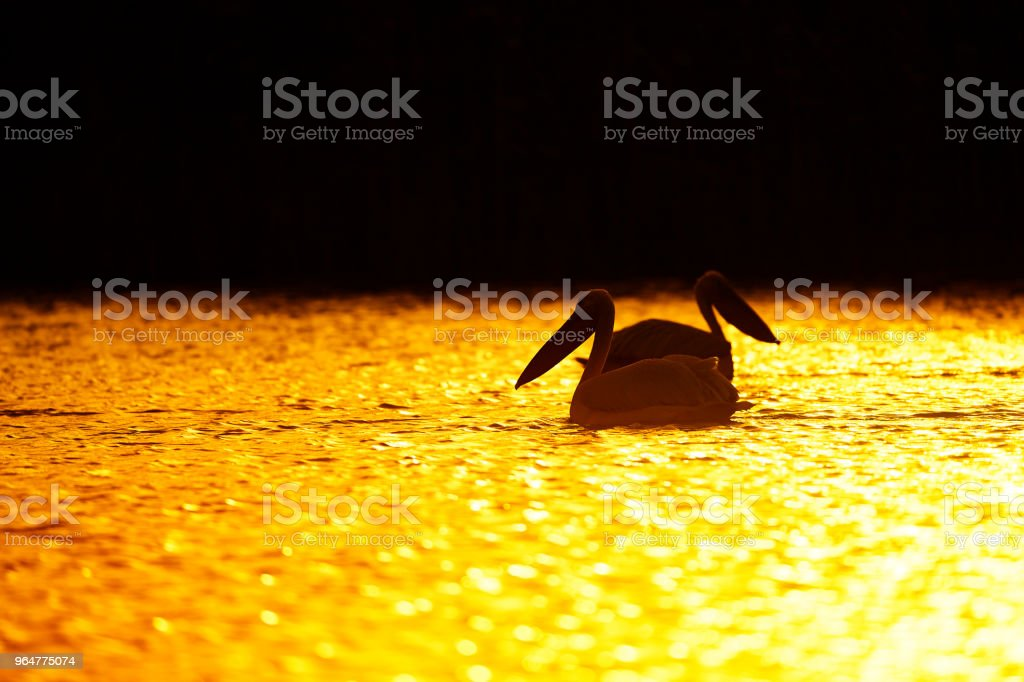 pelicans in the sunset royalty-free stock photo