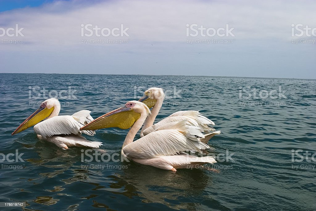 Pelicans in Walvis Bay, Namibia stock photo