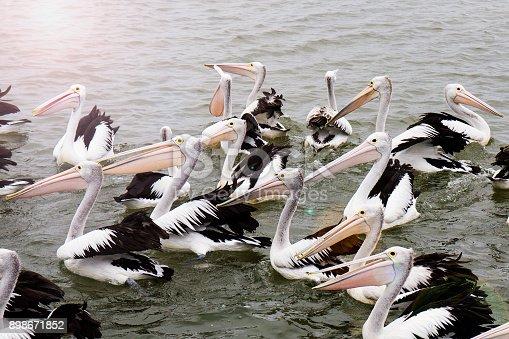 istock Pelicans in water 898671852