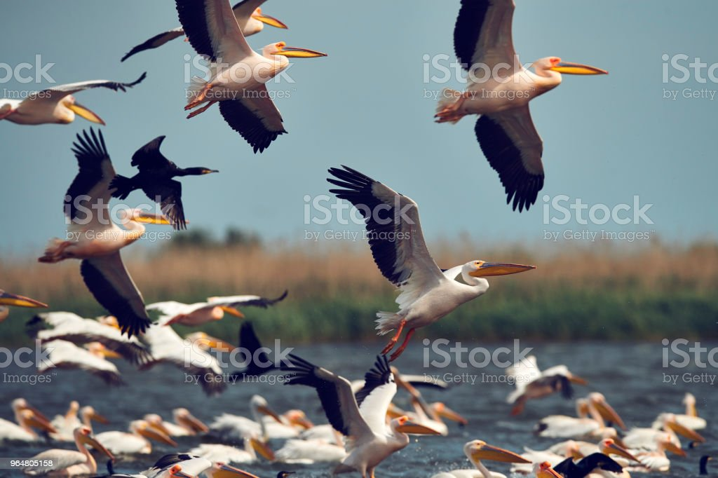 pelicans migration royalty-free stock photo