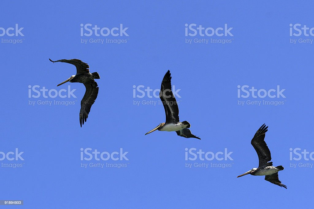 Pelicans On Blue stock photo