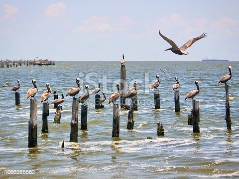 A flock of pelicans stand on the tops of pilings in Trinity Bay on the shore of McHale Park in Seabrook, TX. One pelican is in flight. A container ship sails in the distance.