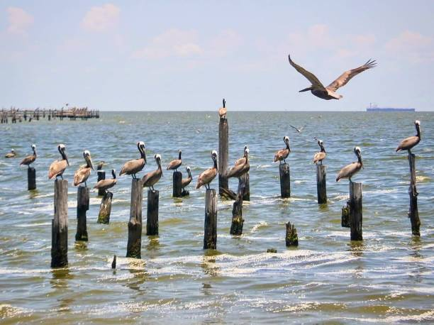 Pelicans on Pier Pilings stock photo