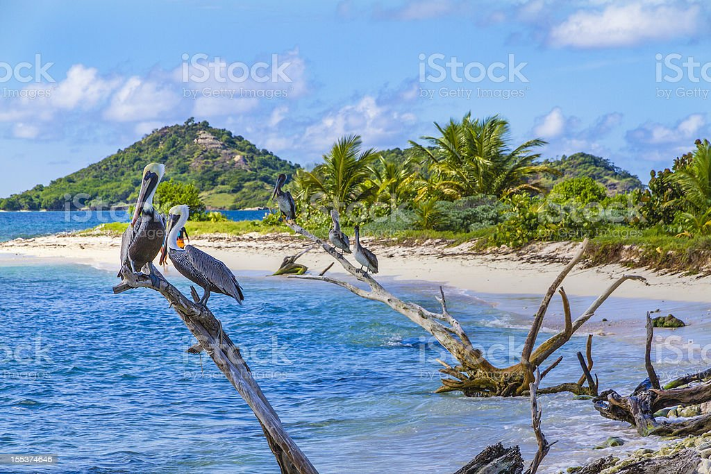 Pelicans on Sandy Island, Grenada royalty-free stock photo