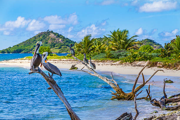 Pelicans on Sandy Island, Grenada stock photo