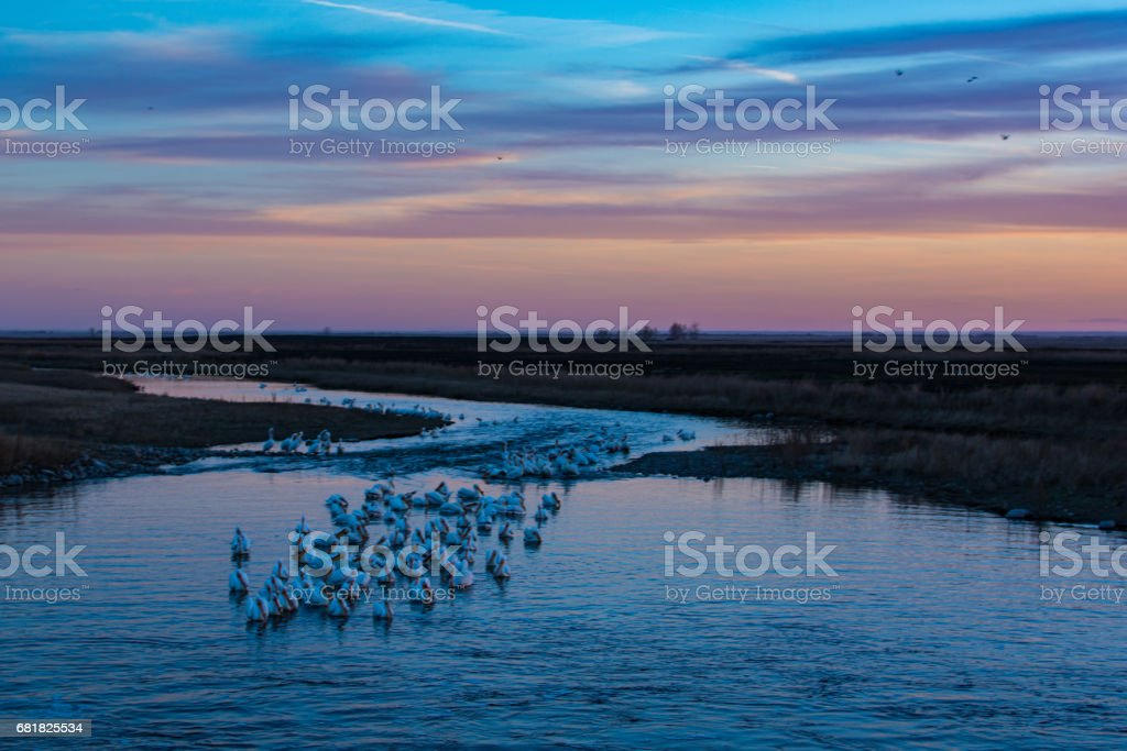 Pelicans on the Water stock photo