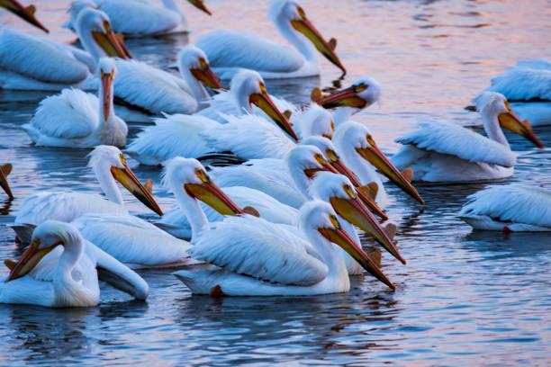 pelicans on the water - пеликан стоковые фото и изображения