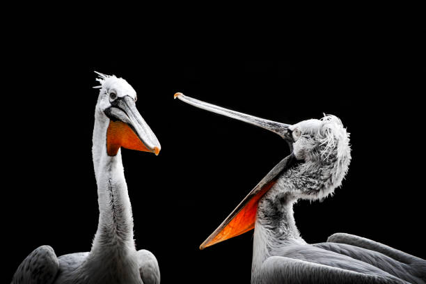 Pelikane – Foto
