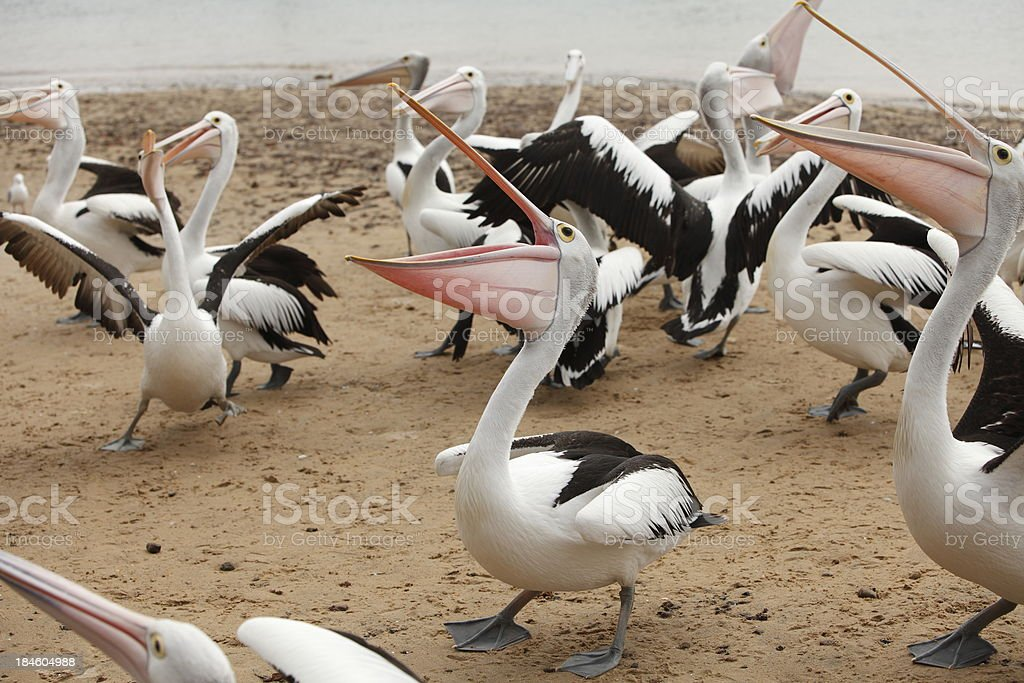 Pelicans stock photo