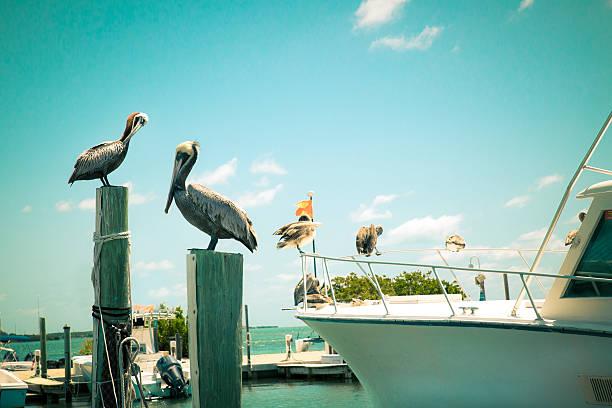 pelicans  - пеликан стоковые фото и изображения