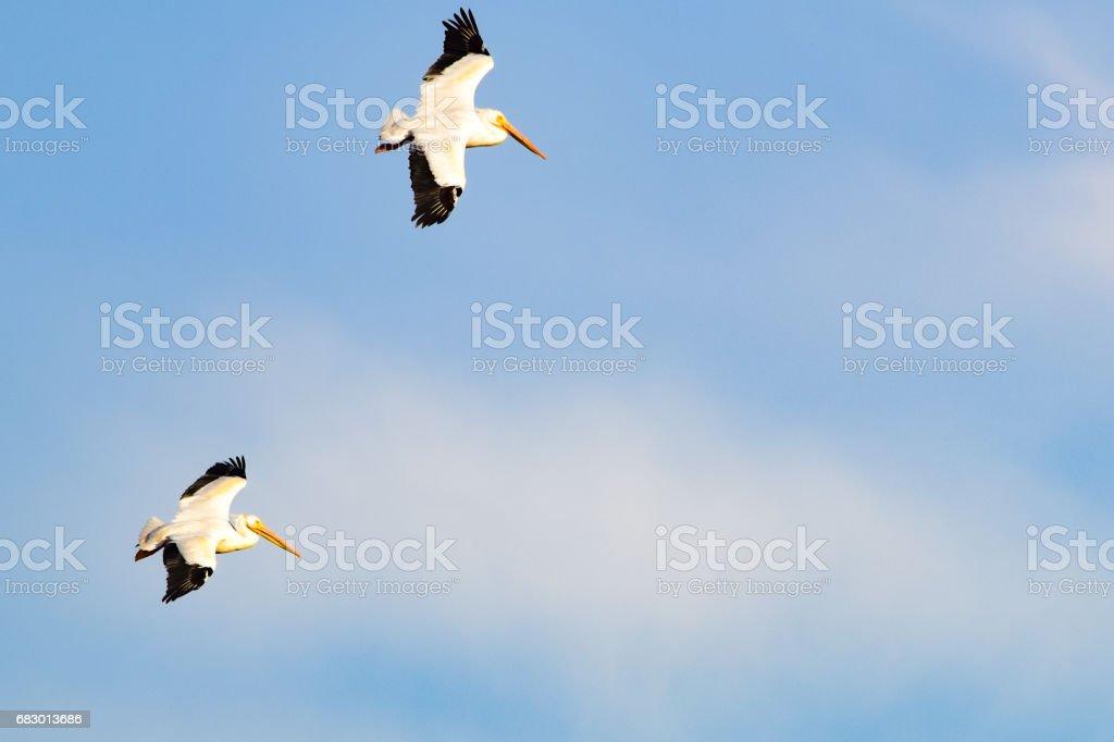 Pelicans foto de stock royalty-free